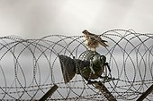 Buzzard in the barbed wires of the DMZ in South Korea