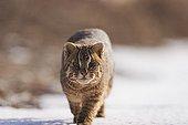 Leopard cat walking in the snow DMZ South Korea