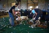 Sheep shearing 'Merinos' cross ' Ile de France France