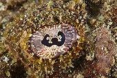 Eye of Flasher Scorpionfish Tahiti Polynesia
