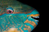Portrait of  Bridled parrotfish Tahiti Polynesia