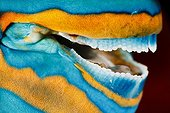 Mouth of male Filament-finned Parrotfish Tahiti Polynesia ; Dress a male fish in the terminal phase