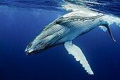 Young Humpback Whale subsurface Rurutu Polynesia
