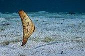 Orbicular batfish juvenile swimming above the bottom Tahiti ; Mimicking a dead leaf