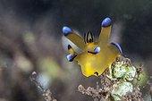 Nudibranch on reef Tahiti French Polynesia