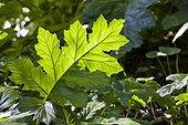 Bear's breech leaf in a garden