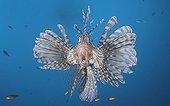 Red Lionfish swimming  Tahiti French Polynesia