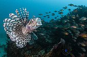 Red Lionfish open mouth  Tahiti French Polynesia