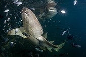 Tawny nurse shark and blue trevally juveniles Moorea