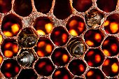 """Old comb and dead bees in a hive of France ; hive-like """"Warré"""""""