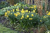 Narcissus in bloom in a garden