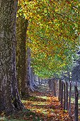 Avenue of plane trees and dead leaves Closure Perigord France