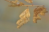 Comma Butterfly on a branch and dead leaf Lorraine France