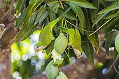 Monk Parakeets eating a green mango Pantanal Brazil
