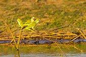 Monk Parakeets on a branch above water Pantanal Brazil