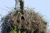 Monk Parakeets in colonial nest Brazil Pantanal