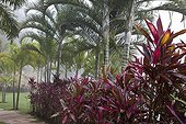 Areca palms and cordylines in a garden in Brazil