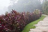 Cordylines in a garden in Brazil