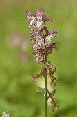 Inflorescence d'une Corydale à bulbe creux Lorraine France
