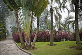 Traveler's tree and cordylines in a garden in Brazil