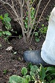 Packing down soil with foot  after planting a Pomegranate