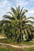 European fan palm in a garden and Phoenix behind