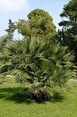 European fan palm in a garden