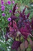 Dahlias and amaranths in bloom in a garden
