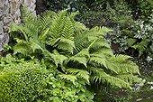 Male fern in a garden