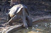 Lonesome George la dernière Tortue géante de l'île Pinta ; Lonesome George the last giant tortoise of Pinta Island