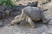 Lonesome George la dernière Tortue géante de l'île Pinta ; Ici avec une femelle d'une autre sous-espèce.