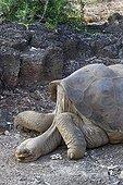 Lonesome George la dernière Tortue géante de l'île Pinta