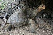 Lonesome George the last giant tortoise of Pinta Island