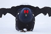 Male black grouse in the snow in courtship Switzerland