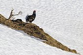 Male black grouse in the snow in Switzerland courtship
