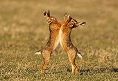 Borwn hares boxing in a meadow at spring