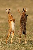 Brown hares boxing in a meadow at spring