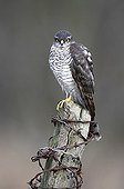 Male Sparrowhawk perched on a post in winter
