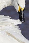 Bewick's Swan preening in winter