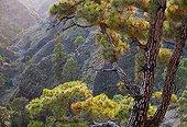 Canary pine Garome Mirador de La Palma Island