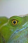 Basilisk eye Santa Elena Cloud Forest NR Costa Rica