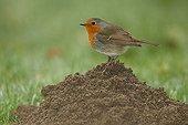 Robin, Erithacus rubecula on a molehill