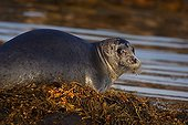 Greenland seal (Pagophilus groenlandica) ; Greenland seal (Pagophilus groenlandica). White Sea, White Karelia, Russia