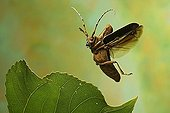 Longhorn beetle (Saperda carcharias)