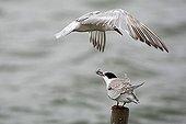 Common tern (Sterna hirundo) feeding their squab while flying