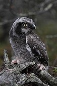 Young Hawk Owl just leaving the nest Norway