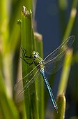 Emperor Dragonfly male on a leaf Denmark