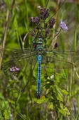 Emperor Dragonfly male on a rush Denmark