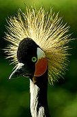 Portrait of a Black Crowned-crane