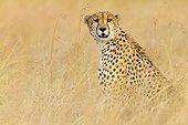 Cheetah in the Masai Mara RNin Kenya